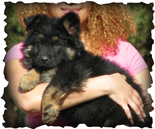 long coat hair german shepherd puppy for sale - Rehoboth's Long Coat German Shepherd Dogs