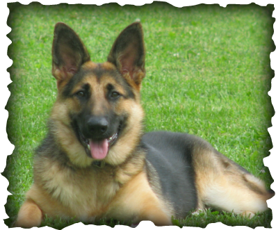 Long Coat German Shepherd Puppy For Sale - Rehoboth's Long Coat German Shepherd Dogs