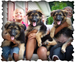 Long Coat German Shepherd Puppy, Puppies