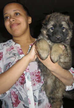 sable long coat German Shepherd puppy, puppies for sale